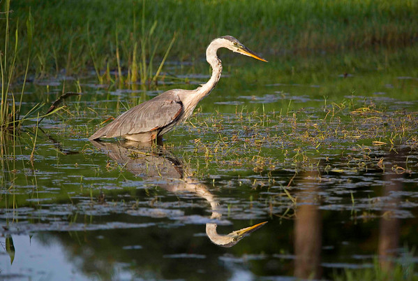 "Tri-colored Heron hunting a water ""snake,"" Miramar FL, July 2009."