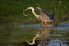 Tri-colored Heron and fresh water eel, Miramar FL, July 2009.