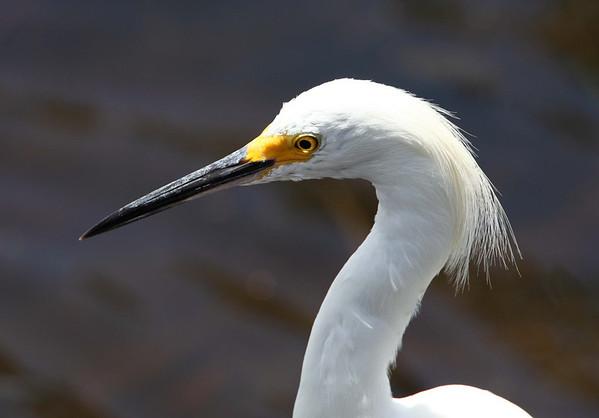Snowy Egret, Ding Darling Wildlife Refuge, Sanibel Island, FL, July 2009.