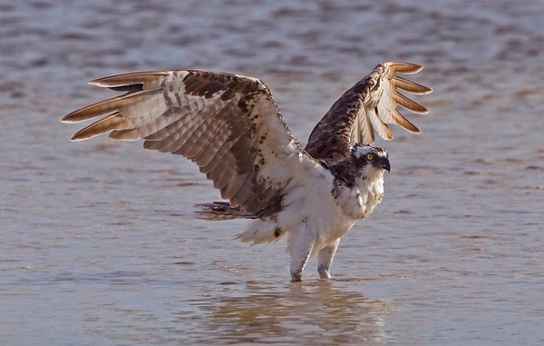 Osprey standing in water, Ding Darling Wildlife Refuge, Sanibel Island, FL, July 2009.