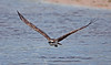 Osprey over water, Ding Darling Wildlife Refuge, Sanibel Island, FL, July 2009.