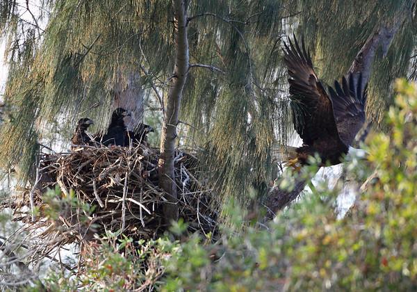 Bald Eagle Parent Leaving Nest as 3 Young Watch, Pembroke Pines, FL, 3/13/2010