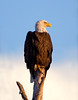 Bald Eagle, Pembroke Pines, FL, 3/6/2010