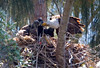 Bald Eagles, Pembroke Pines, FL, 3/7/2010