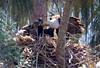 Bald Eagles, Pembroke Pines, FL, 3/7/2010