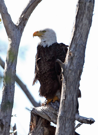 Bald eagle, Pembroke Pines, 3/6/2010