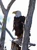 Bald eagle, Pembroke Pines, 3/6/2010
