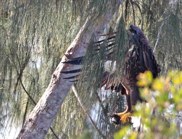 Bald eagle arriving nest with food, Pembroke Pines, 3/14/2010