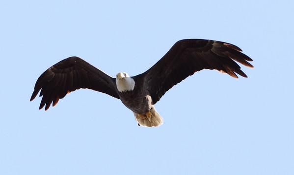 Bald Eagle Male, Pembroke Pines, FL, 3/13/2010
