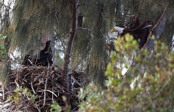 Bald Eagle Parent Landing with 3 Young, Pembroke Pines, FL, 3/13/2010