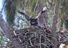 Young bald eagle, Pembroke Pines, believed yet to leave nest, 3/6/2010