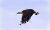 Bald Eagle, Pembroke Pines, FL, 3/7/2010