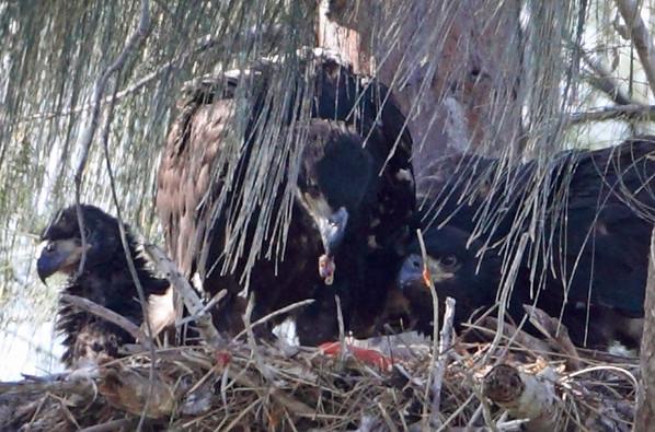 Three (3) Bald eagles in nest, Pembroke Pines, 3/14/2010