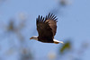 Bald Eagle, Pembroke Pines, FL, 3/7/2010