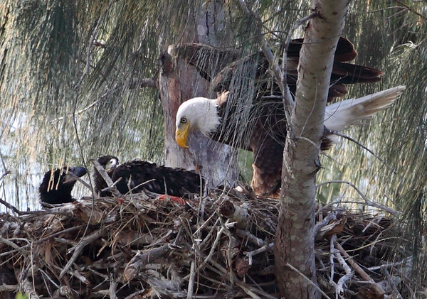 Bald eagle just arriving nest with food, 2 of 3 young in view, Pembroke Pines, 3/14/2010.