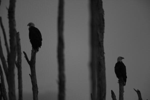 Bald Eagle, Pembroke Pines, FL, 3/6/2010