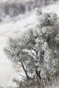 Frosty young pine in Custer Gallatin NF