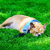 It's a dogs life. This mans' best friend foudn a comfortable patch of summer grass on The Green in Kentlands