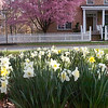 Kentland Spring Events. Spring Daffodils are now on display in many of hte Kentland parks