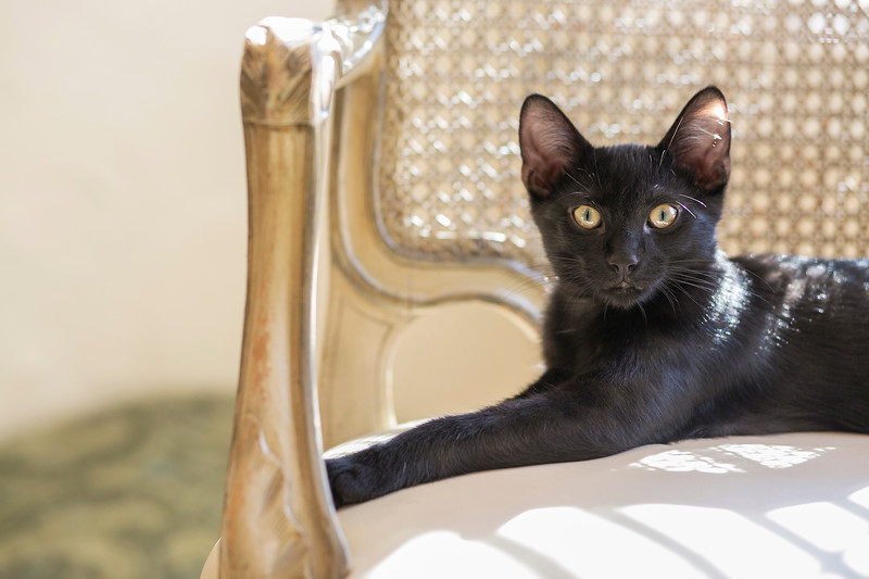 cute black kitten on vintage cream chair