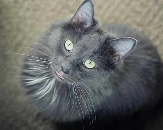 fluffy grey cat with gold eyes looking up