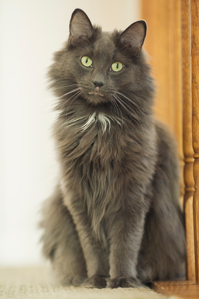 chicago pet photography portrait of darling long haired grey cat with green gold eyes