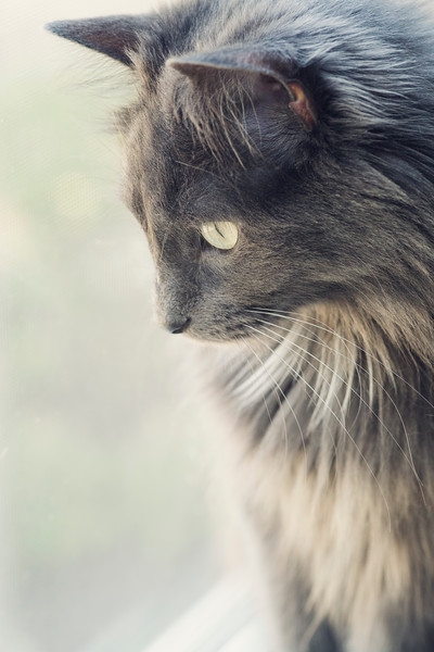 grey cat looks out window