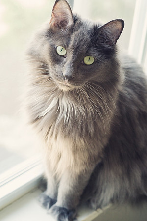 long haired grey cat with gold eyes in window