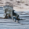 Iguana Walking Away