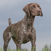 We took some time to capture some pointing shots while training at Sharp Shooter Kennels.