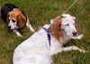 adopt senior dogs