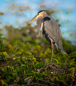 The Great Blue Heron of Wakodahatchee - Cooper