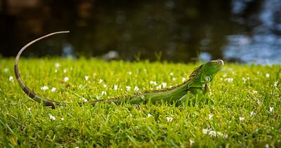 Herbivorous Lizard in the grass - Cooper