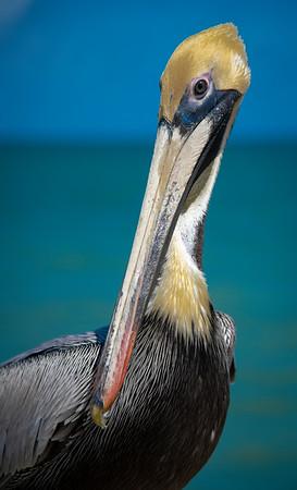The Lauderdale Brown Pelican - Cooper