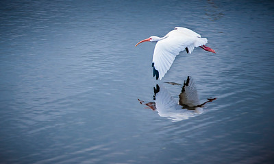 American White Ibis in flight - Cooper