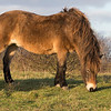 Rare breed Exmoor Pony <br /> Conservation graving of chalk grassland <br /> Danebury Hill Fort<br /> Hampshire, UK
