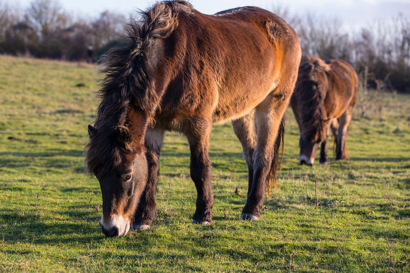 Rare breed Exmoor Ponies<br /> Conservation grazing of chalk grassland<br /> Danebury Hill Fort<br /> Hampshire, UK