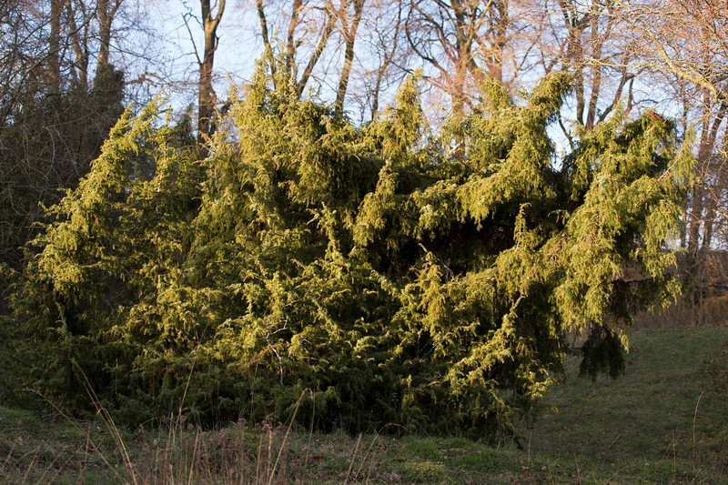 Ancient common Juniper bush<br /> (Juniperus communis)<br /> Danebury Hill Fort <br /> Hampshire, UK