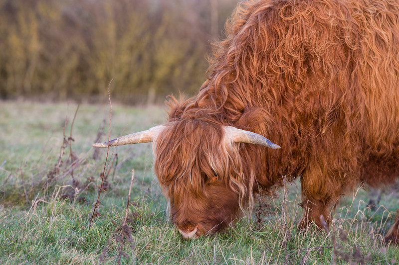 Young Highland cow portrait<br /> Rare breed conservation grazing at Danebury Hill Fort, Hampshire, UK