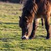Rare breed Exmoor Pony<br /> Conservation grazing of chalk grassland<br /> Danebury Hill Fort<br /> Hampshire, UK
