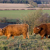 Highland cows<br /> Rare breed conservation grazing at Danebury Hill Fort, Hampshire, UK
