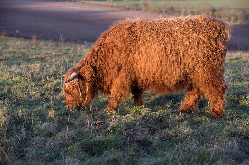 Rare breed Highland cow<br /> Conservation grazing<br /> Danebury Hill Fort<br /> Hampshire, UK