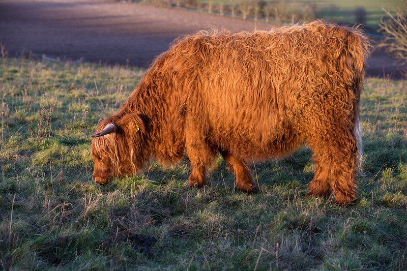 Rare breed Highland cow<br /> Conservtion grazing<br /> Danebury Hill Fort<br /> Hampshire, UK