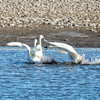 Tundra Swans with some geese