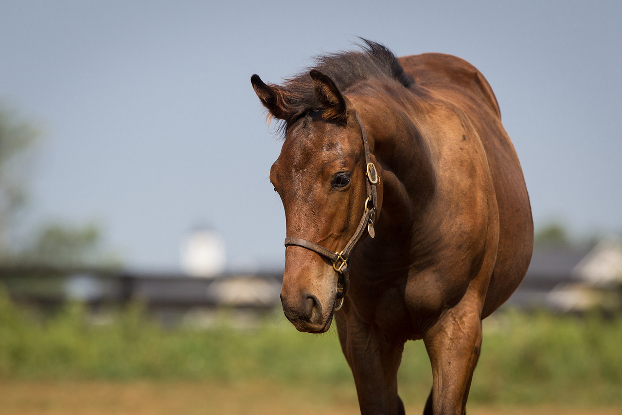 SomthinaboutLaura - Bernardini '12 on 8.29.2012.  She's now out in a large field with several other mares and foals.