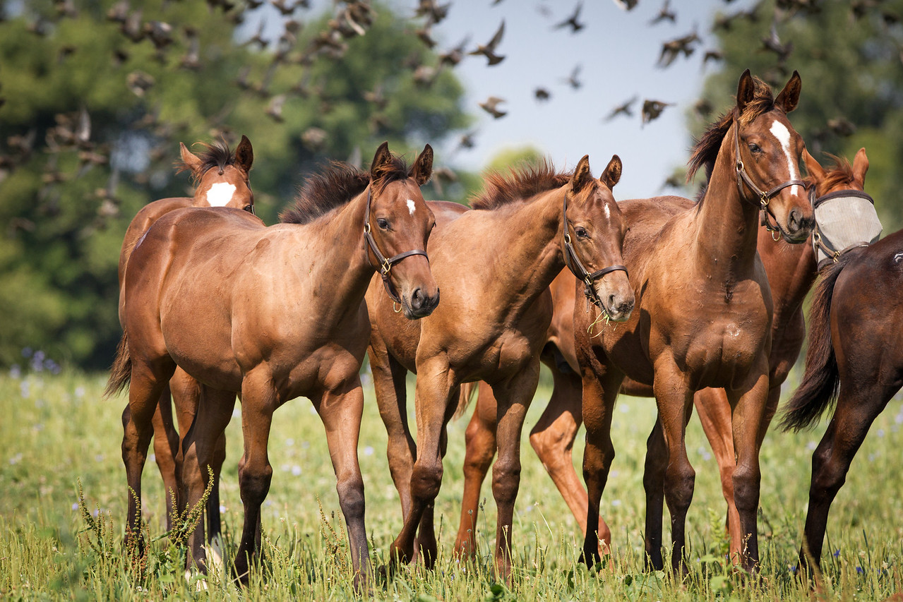 Poker Princess - Awesome Again '12.  Recently weaned from his dam.  The weanlings stick closely together out in their big field. 8.29.2012