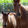 Horses2443