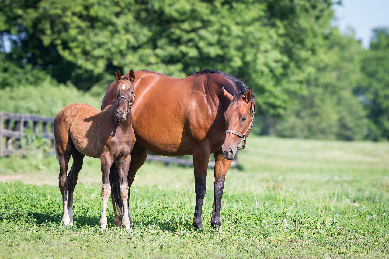 Aga Khan Stable's mare Emiyna, with Giant's Causeway filly.