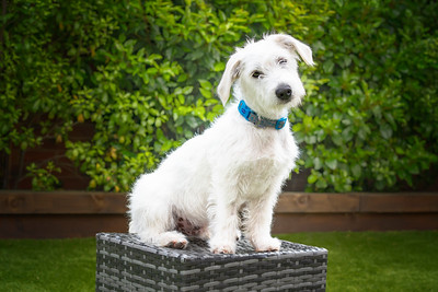 White Male Jackapoo dog in the garden