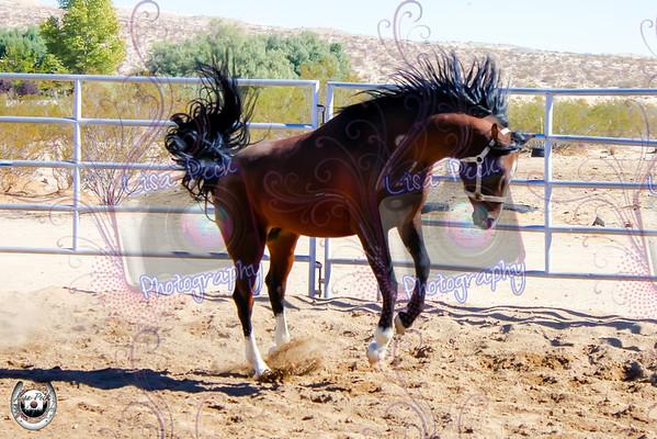 Aya Arabians